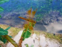 Slända Dragonflys arkivbild