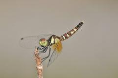 Slända för Nannophya pygmaeapygmy Arkivbilder