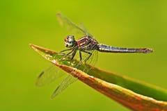 Slända från Costa Rica Sländasammanträde på gröna sidor Härlig drakefluga i naturlivsmiljön Trevligt kryp från central Fotografering för Bildbyråer