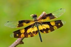 Slända från Sri Lanka Nyanserade Flutterer, Rhyothemis variegata som sitter på de gröna sidorna Härlig drakefluga i det nat Royaltyfria Foton