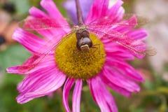 Slända i rosa blomma royaltyfri fotografi