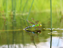 Slända med reflexion i vattnet Royaltyfria Bilder