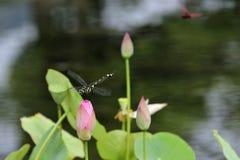 Slända- och lotusblommablad Royaltyfria Bilder