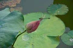 Slända- och lotusblommablomma Royaltyfri Foto