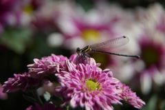 Slända och rosa färgblomma royaltyfri bild