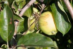 Slända på äppleträdet i den soliga dagen arkivfoto