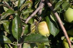 Slända på äppleträdet i den soliga dagen royaltyfri foto