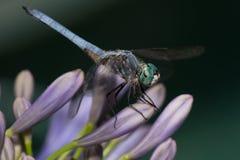 Slända på Agapantha blommor Fotografering för Bildbyråer