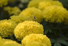Slända på den härliga gula blomman Arkivfoton