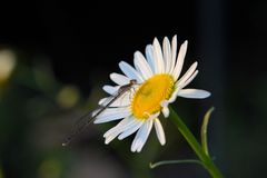 Slända på den vita blomman arkivfoton