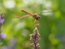 Slända på en blomma Arkivfoto
