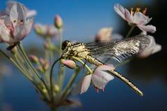 Slända på en fingerslända på en blomma royaltyfri bild