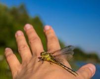 Slända på en fingerslända på en blomma fotografering för bildbyråer