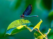 Slända på en leaf royaltyfri fotografi