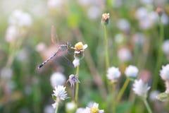 Slända på ett gräs i morgonen och solljuset kryp angus arkivfoton