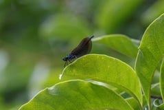 Slända på ett grönt blad Arkivfoto