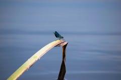 Slända på ett vassblad i floden Arkivfoto