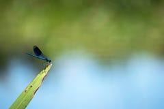 Slända på ett vassblad i floden med blått och grön suddig bakgrund Fotografering för Bildbyråer