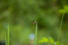 Slända på gräs Fotografering för Bildbyråer