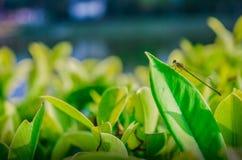 Slända på leafen royaltyfri foto