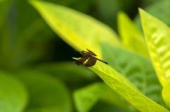 Slända på leafen Arkivbild