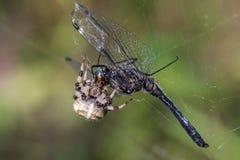 slända som äter spindeln Royaltyfri Bild