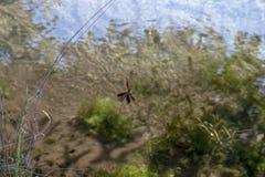 Slända som fångas i kanfasen av en spindel Arkivfoto