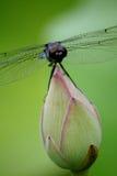 Slända som vilar på lotusblomma Royaltyfri Foto