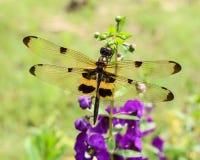 SländaGomphus flavipes (kvinnlig) på en växt Fotografering för Bildbyråer