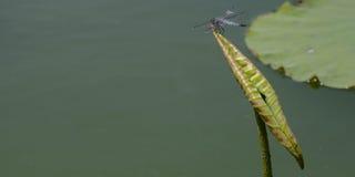 Sländanedgångar på en lotusblommabladkrullning Arkivfoton