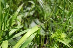 sländasammanträde på makroskott för grönt gräs fotografering för bildbyråer