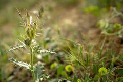 Sländatistel som blommar i öknen arkivfoton