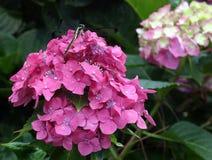 sländavanlig hortensia arkivbilder