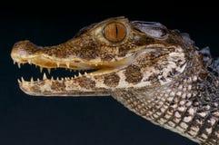 Slät-beklädd dvärg- kajman/Paleosuchus trigonatus Arkivfoton