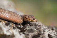 Slät orm, Coronella austriaca, i Tjeckien arkivbild