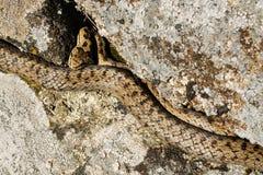 slät orm för austriacacoronella Arkivfoton
