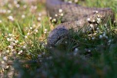 Slät orm i vårgräs ReptilCoronella austriaca Arkivbilder