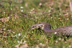 Slät orm i vårgräs ReptilCoronella austriaca Royaltyfria Foton