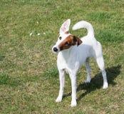 slät terrier för hundräv Arkivfoton