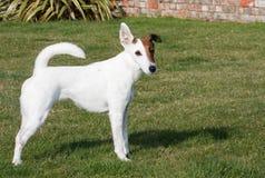 slät terrier för hundräv Royaltyfria Bilder