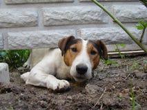 slät terrier för räv Royaltyfria Foton