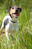 slät terrier för räv Arkivbilder