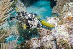 Slät Trunkfish och Yellowhead Wrasse Arkivfoton