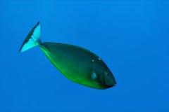 slät unicornfish Arkivfoton