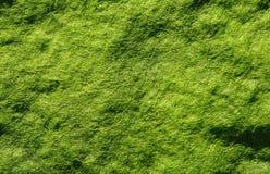 släta alger Arkivbild