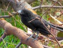 Släta den fakturerade Anifågeln på en stupad trädfilial Arkivbild