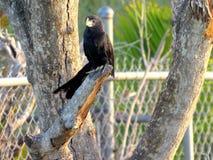 Släta den fakturerade Anifågeln som fridfullt sitter Royaltyfria Bilder
