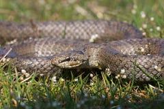 Släta den ormCoronella austriacaen som förbereder sig att anfalla Reptilen krullade cirklar Fotografering för Bildbyråer