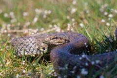 Släta den ormCoronella austriacaen som förbereder sig att anfalla Reptilen krullade cirklar Royaltyfri Fotografi