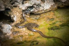 Släta ormen, den Coronella austriacaen, i bulgarisk del av Black Sea arkivfoto